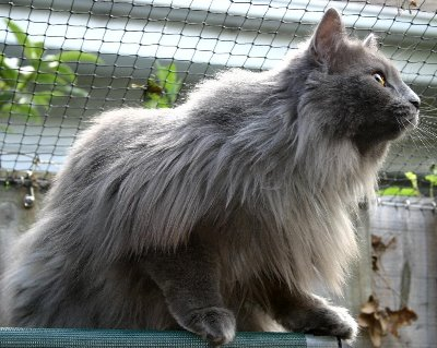 Norwegian Cat Breed