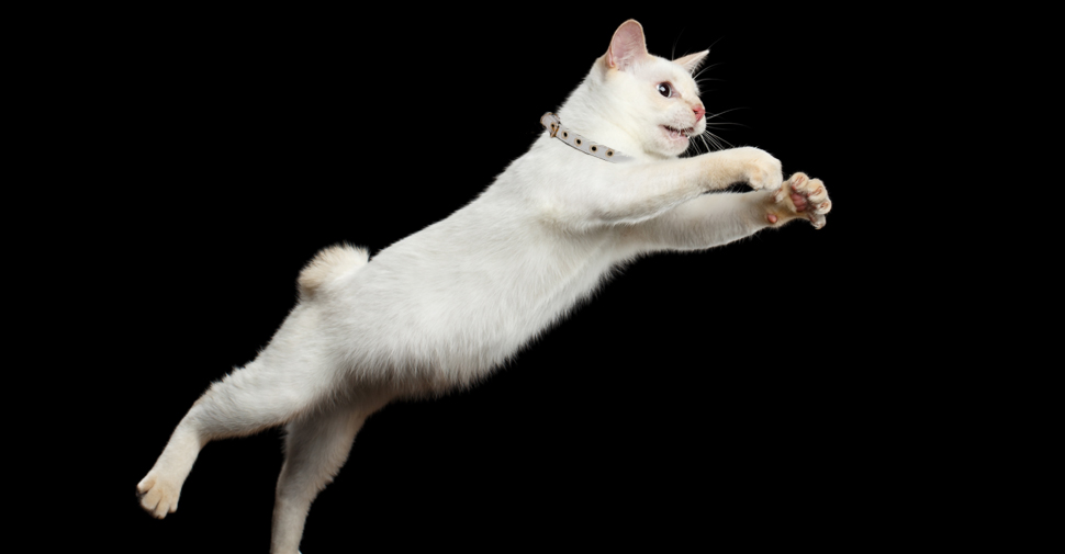 Japanese Bobtail white cat breed with corkscrew bob tail leaping from high surface, in mid-air with front legs stretched forward.