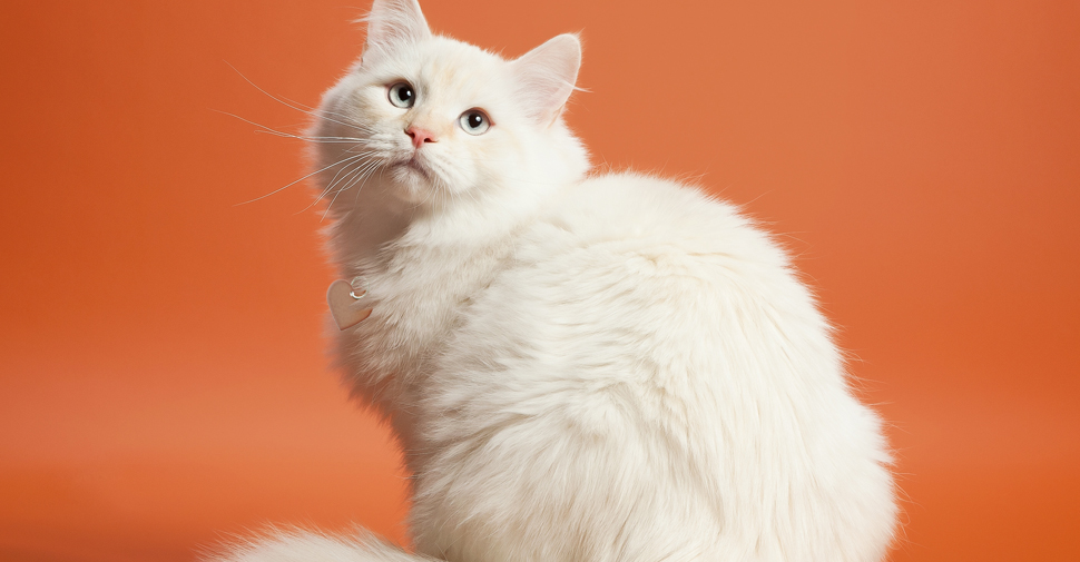 Fluffy white Siberian cat breed with light blue eyes siting on orange back-drop looking backwards behind her.
