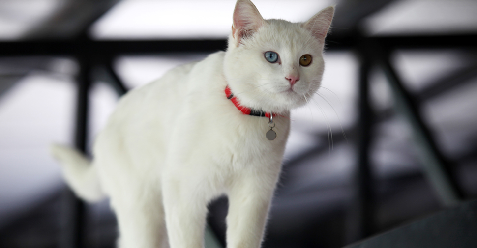 Short hair Turkish Van white cat breed with one orange eye and one blue eye.