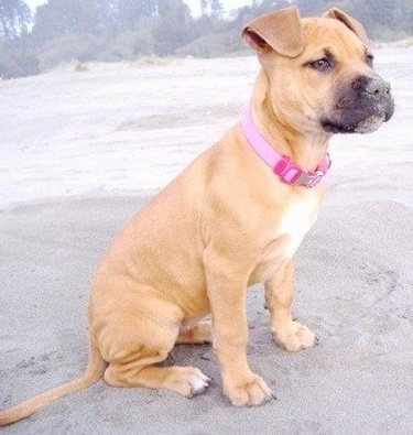 The right side of a tan with white Pit Bull Terrier puppy that is sitting on sand and it has sand on its face.