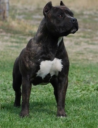 A black brindle with white American Staffordshire Terrier is standing on a lawn and it is looking to the right.