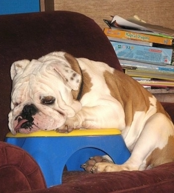 Duke the English Bulldog laying on a plastic blue and yellow stepping stool that is on a reclining chair