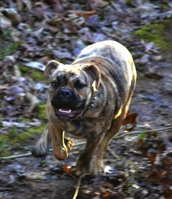 Front view action shot - A tan brindle Olde English Bulldogge is running towards the camera across a muddy ground with fallen leaves around it. The dog