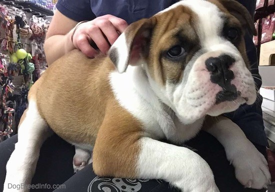 A tan with white and black wide, thick-bodied, well muscled, wrinkly puppy with ears that hang down to the sides and a black nose with pink on it sitting on the lap of a person in a blue shirt and blue sweat pants. The pup has a lot of extra skin.