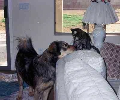 The front right side of a black with gray and tan Tibetan Mastiff that is standing behind a couch and it is looking up at a cat that is sitting on the couch.