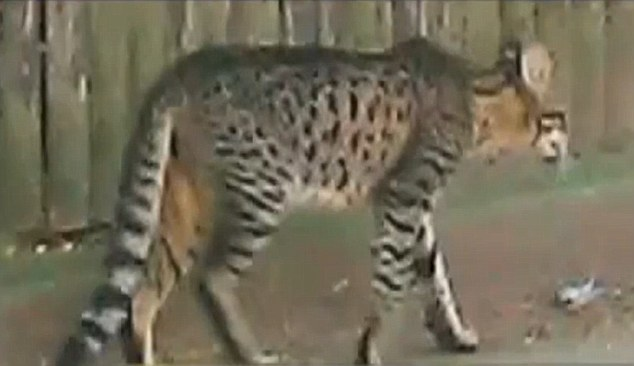 Chum: the cat terrifying neighbors turned out to be a domesticated Savannah cat named Chum