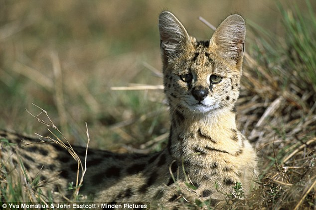 In the wild: Serval adult, in tall grass where it hunts for rodents, birds, small reptiles