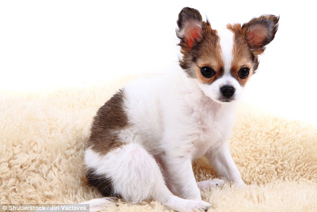 Chihuahuas may be adorably cute but often they falls foul of unethical breeding, where disreputable companies breed dogs with the runt of the litter to make them even smaller, which in turn makes them more desirable