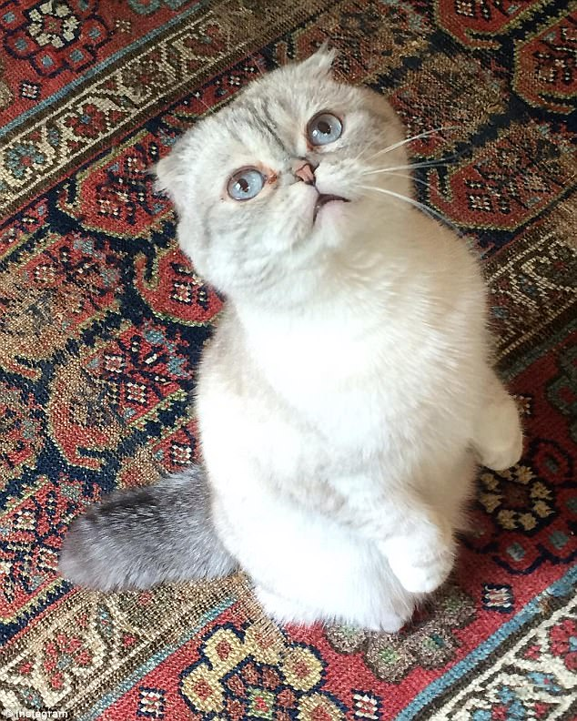 Experts have warned the genetic mutation which causes the Scottish fold breed