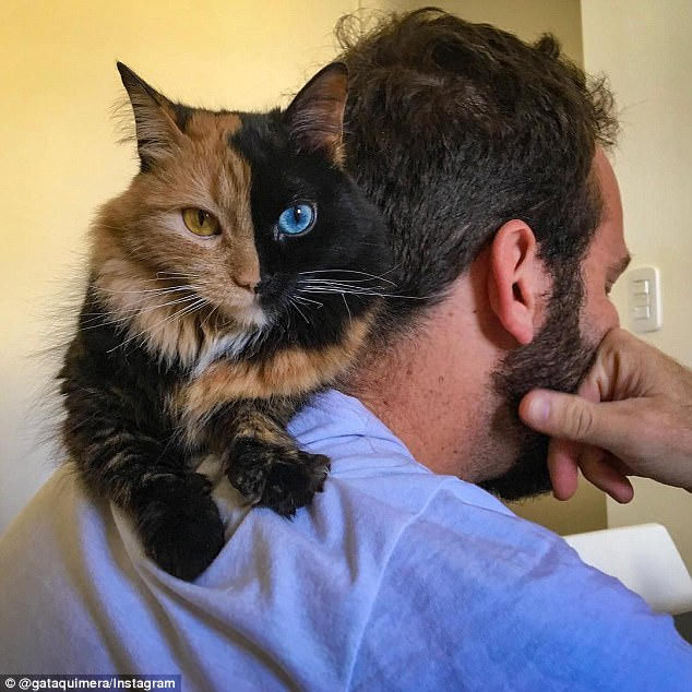 A shoulder to lean on: Quimera is a chimera cat, meaning she is technically made up of two different cats