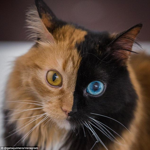 Two-faced: Quimera the cat has gained thousands of followers online for her striking looks