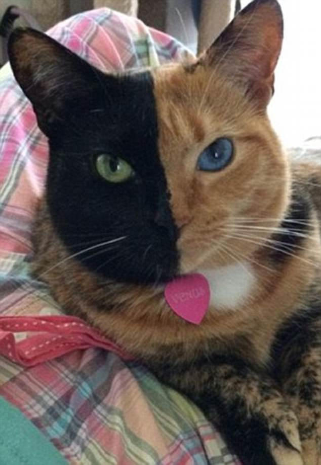 Could be sisters: The most famous chimera cat is Venus (pictured) who has more than 1.4 million Instagram followers