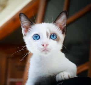 white kitten with beautiful blue eyes