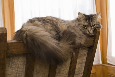 Many long-haired cats have an extra-thick layer of fur around their necks called a ruff, frills or a bib and resemble a lion