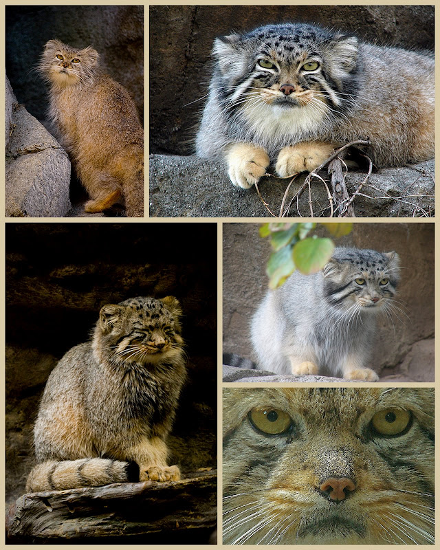 pallas cat collage manul