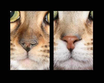 Bengal Nose - a comparison between a good nose and an affected nose - photo copyright Helmi Flick