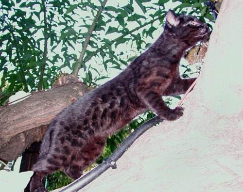 Melanistic F1 Safari cat