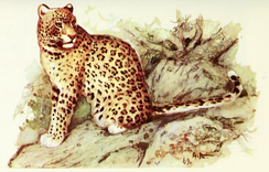 Painting of a leopard by A. N. Komarov