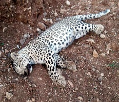 A leopard found dead near Zom village in the protected area of Kosalan and Shahu in 2019