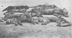Seven Javan leopards and one Javan tiger killed during Rampokan, circa 1900.