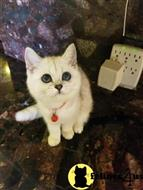 british shorthair kitten posted by SmilingCats