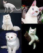 Белая кошка породы – 20 пород, 31 фото, особенности содержания